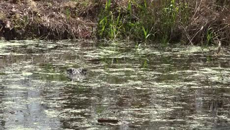 Georgia-Okefenokee-Alligator-Head-In-Scummy-Water