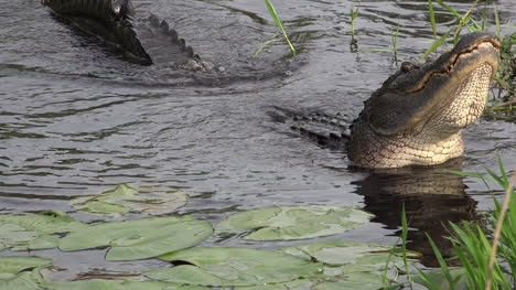 Georgia-Okefenokee-Alligator-Head-Moving-Up-And-Down-With-Sound