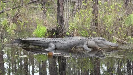 Georgia-Okefenokee-Alligator-Lies-On-Bank