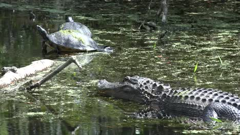 Georgia-Okefenokee-Alligator-Looks-At-Turtles-On-Log