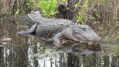 Georgia-Okefenokee-Alligator-Looks-Up