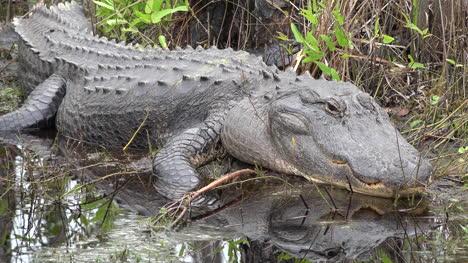 Georgia-Okefenokee-Alligator-Reflected