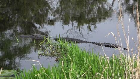 Georgia-Okefenokee-Alligator-Resting-In-Water