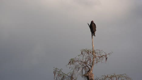 Georgia-Okefenokee-Buzzard-On-A-Tree