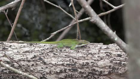 Georgia-Okefenokee-Green-Lizard-Leaps-To-Branch