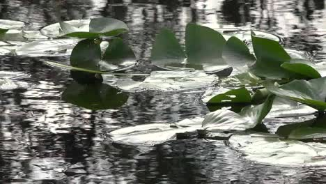 Georgia-Okefenokee-Lily-Pads-And-Reflections-Pan