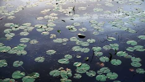 Georgia-Okefenokee-Many-Lily-Pads