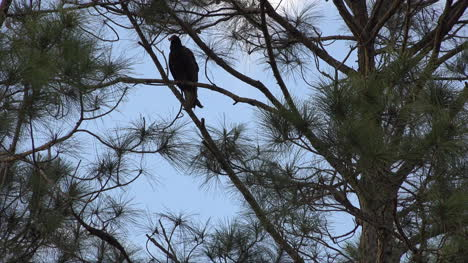 Georgia-Okefenokee-One-Vulture-In-A-Pine-Tree