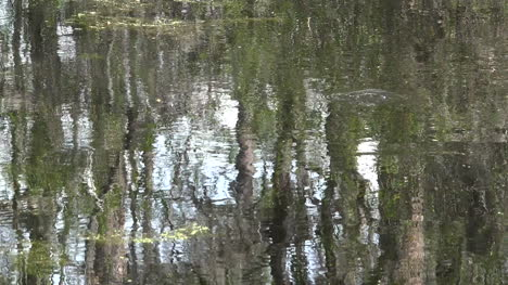 Georgia-Okefenokee-Reflections-In-Scummy-Water-Pan