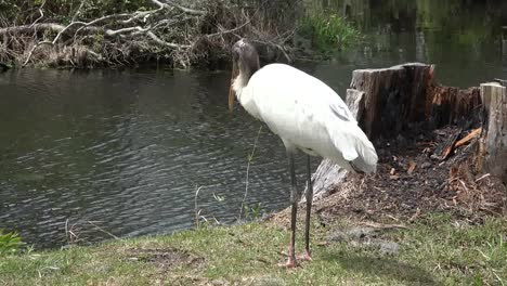 Georgia-Okefenokee-Stork-Stands-By-Water