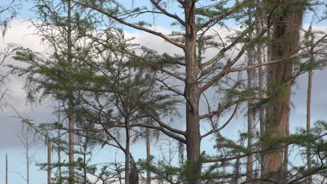 Georgia-Okefenokee-Sun-Comes-Out-On-Cypress-Trees