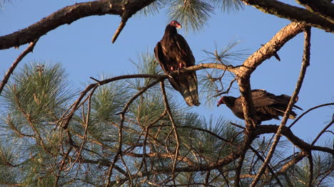 Georgia-Okefenokee-Sun-On-Pine-And-Vultures
