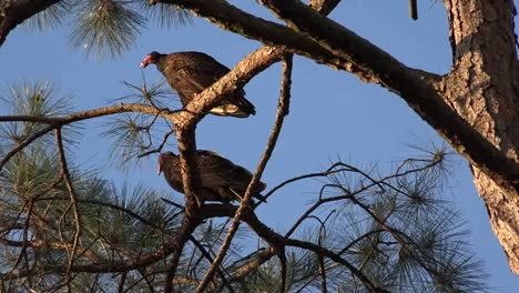 Georgia-Okefenokee-Sun-Shines-On-Vultures-In-A-Pine-Tree