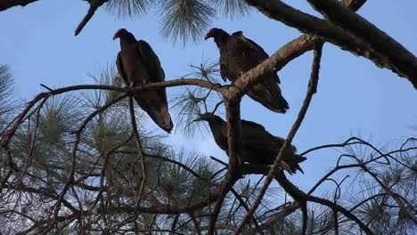 Georgia-Okefenokee-Three-Vultures-On-Pine-Branches