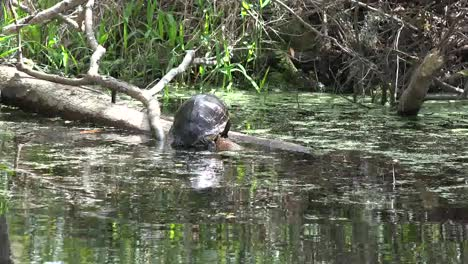 Georgia-Okefenokee-Turtle-Climbs-On-Log