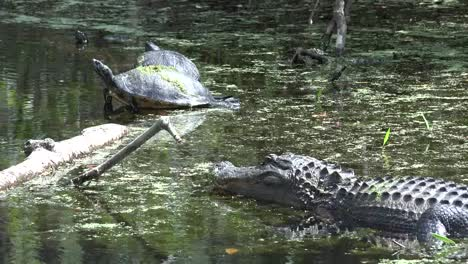 Georgia-Okefenokee-Turtles-On-Log-With-Alligator-In-Water