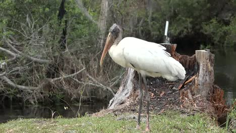 Georgia-Okefenokee-White-Stock-Stands-In-Grass