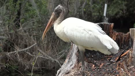 Georgia-Okefenokee-White-Stork-Zoom-In