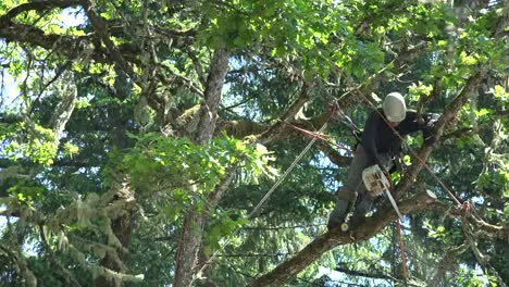 Oregon-Man-Cutting-Oak-Tree-Limb