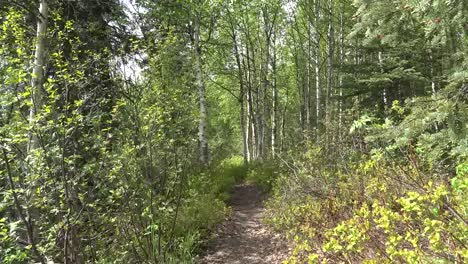 Alaska-Path-To-Birch-Trees