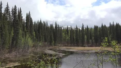 Alaska-Spruce-Forest-By-Beaver-Pond