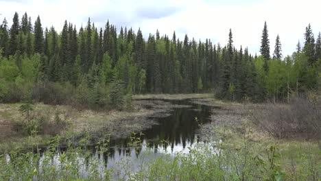 Alaska-Spruce-Forest-Reflections