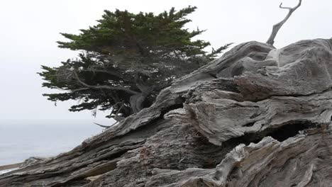California-17-Mile-Drive-Ghost-Tree-Stump-And-Live-Cypress