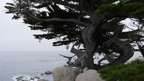 California-17-Mile-Drive-Live-Cypress-At-Ghost-Tree
