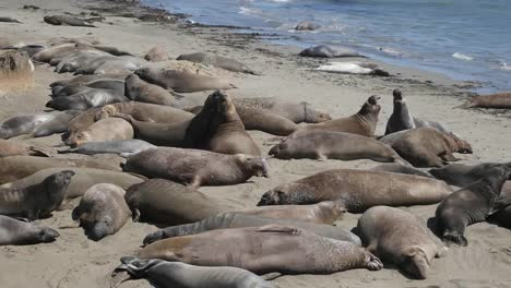 California-Elephant-Seal-Rookery-Big-Males-Fighting