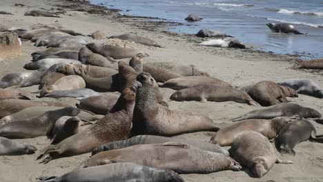 California-Elephant-Seal-Rookery-Biggest-Male-Wins-Fight