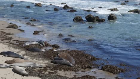 California-Elephant-Seal-Rookery-Females-Lying-On-Beach-In-Kelp