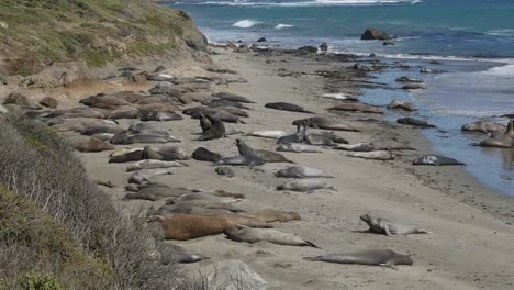 California-Elephant-Seal-Rookery-Juvenile-Males-Fighting-And-Females