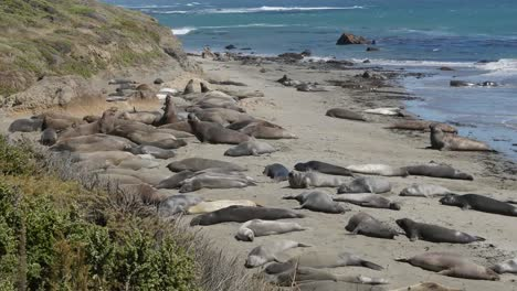 California-Elephant-Seal-Rookery-On-Beach-Flipping-Sand-Playing