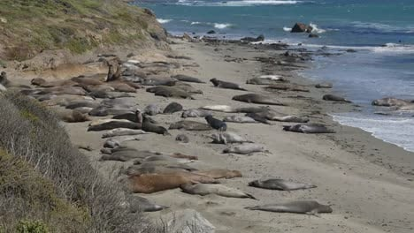 California-Elephant-Seal-Rookery-Seals-On-Beach