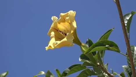 California-Solandra-Flower-And-Blue-Sky