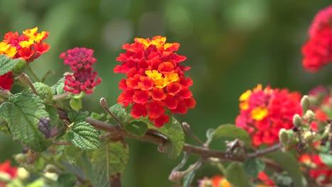 California-Lantana-Camara-Flowers-Orange-And-Yellow