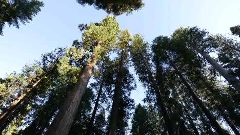 California-Pan-Calaveras-Big-Tree-Tops