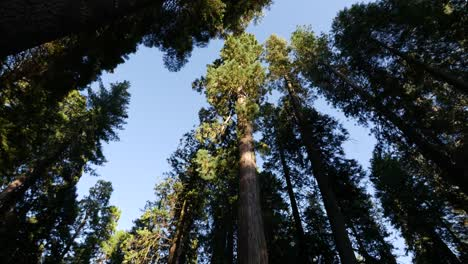 California-Top-Of-Redwood-Tree