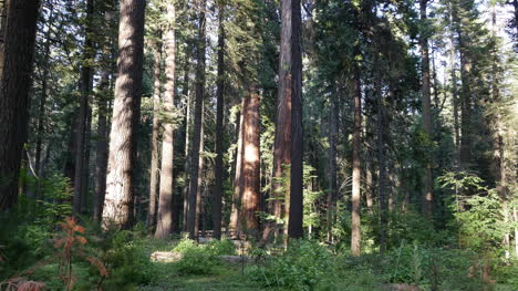 California-View-In-Redwood-Forest