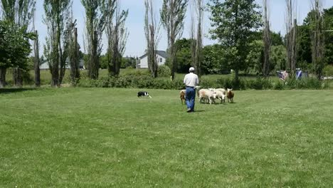 Oregon-Herding-Sheep-With-Dog