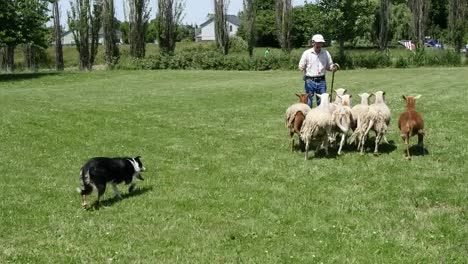 Oregon-Man-And-Dog-With-Sheep