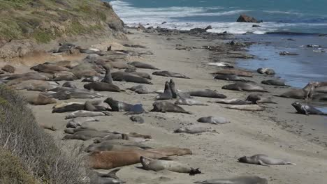 California-Elephant-Seal-Rookery-Juvenile-Males-Play-Fighting-By-Females-Zoom-In