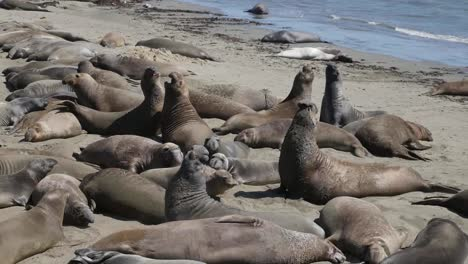California-Elephant-Seal-Rookery-Males-Fighting-Zooms-In