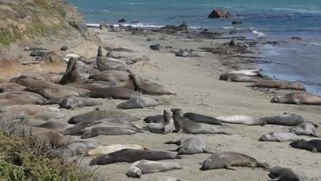 California-Elephant-Seal-Rookery-On-Beach-Flipping-Sand-Playing-Pan