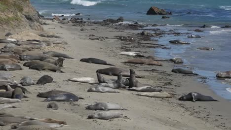 California-Elephant-Seal-Rookery-Seals-Lying-On-Beach-And-Play-Fighting-Zoom-Out