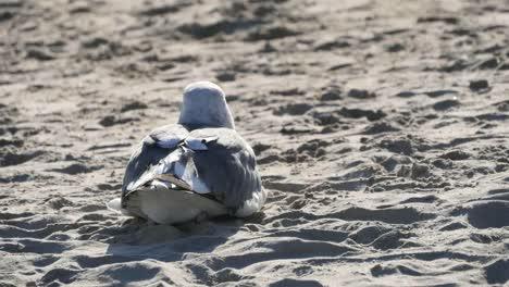 Los-Angeles-Venice-Beach-Juvenile-Seagull-Sitting-W-Wind-Rustling-Feathers-Telephoto