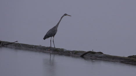 Washington-Heron-Walking-Pan