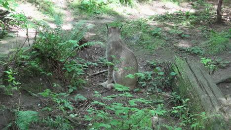 Washington-Lynx-Sitting-Zoom