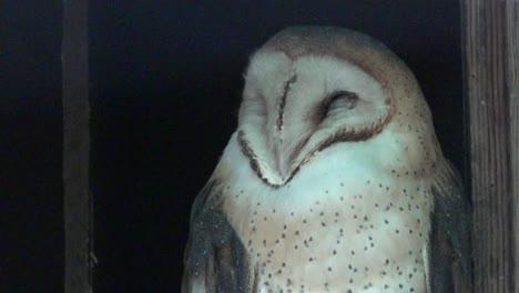 Washington-Barn-Owl-Head-Zoom-In