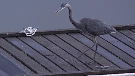 Washington-Heron-On-Dock-Stalking-Pan